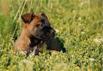 young puppy belgian shepherd malinois in a field Stock Photo - Royalty-Free, Artist: cynoclub, Code: 400-04100785