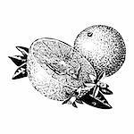 Vintage 1950s etched-style oranges; detailed black and white from authentic hand-drawn scratchboard. Stock Photo - Royalty-Free, Artist: dorisrich, Code: 400-04105989