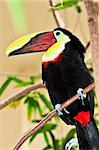 Chestnut mandibled toucan bird perched on branch Stock Photo - Royalty-Free, Artist: Elenathewise, Code: 400-04106638