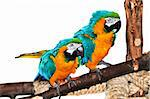 Pair of blue and yellow macaw parrots on branch Stock Photo - Royalty-Free, Artist: Elenathewise, Code: 400-04106641