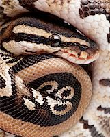 snake skin - Close up on a Young Python regius (10 months old) in front of a white background Stock Photo - Royalty-Freenull, Code: 400-04119884