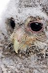 close-up of an owlet's head - Athene noctua (4 weeks old) in front of a white background Stock Photo - Royalty-Free, Artist: isselee, Code: 400-04119972