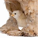 Brown Brahma Hen and her chick in front of a white background Stock Photo - Royalty-Free, Artist: isselee, Code: 400-04120001