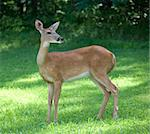 whitetail deer doe that is out in a grassy field in daylight Stock Photo - Royalty-Free, Artist: gsagi                         , Code: 400-04135289