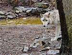 Wolves Stock Photo - Royalty-Free, Artist: jimdelillo, Code: 400-04147647