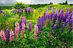 Newfoundland wilderness landscape with purple lupin flowers Stock Photo - Royalty-Free, Artist: Elenathewise, Code: 400-04164195