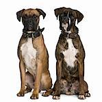Two Boxer dogs, 1 year old, sitting in front of white background Stock Photo - Royalty-Free, Artist: isselee, Code: 400-04166612