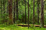 The depths of a pine forest Stock Photo - Royalty-Free, Artist: naumoid, Code: 400-04179769