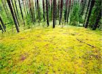 Mossy meadow at pinewood after rain Stock Photo - Royalty-Free, Artist: naumoid, Code: 400-04179847