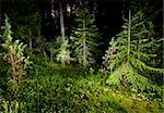 Fir trees in  pinewood at summer night Stock Photo - Royalty-Free, Artist: naumoid, Code: 400-04179898