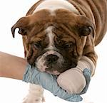 gloved hand holding on to wounded paw of english bulldog puppy on white background Stock Photo - Royalty-Free, Artist: willeecole, Code: 400-04181579
