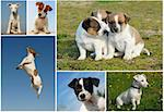 composite picture with purebred dogs and puppies Jack Russel terrier outdoors Stock Photo - Royalty-Free, Artist: cynoclub, Code: 400-04194955