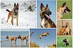 composite picture with purebred dogs and puppies belgian shepherd malinois Stock Photo - Royalty-Free, Artist: cynoclub, Code: 400-04195105