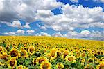 sunflower field over cloudy blue sky Stock Photo - Royalty-Free, Artist: Pakhnyushchyy, Code: 400-04200119