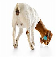 rear view of south african boer goat doeling with reflection on white background Stock Photo - Royalty-Freenull, Code: 400-04208204