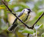 An image of a nice tit bird Stock Photo - Royalty-Free, Artist: magann, Code: 400-04210021