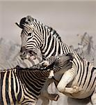 Close-up of two stallions fighting and biting ; Etosha; Equus burchell's Stock Photo - Royalty-Free, Artist: JohanSwan, Code: 400-04215937