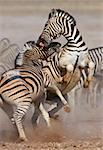 Close-up of two stallions fighting and biting ; Etosha; Equus burchell's Stock Photo - Royalty-Free, Artist: JohanSwan, Code: 400-04215976