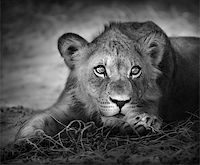 Close-up portrait of a young lion; panthera leo Stock Photo - Royalty-Freenull, Code: 400-04217108