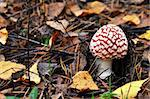 one fly agaric in the forest on ground Stock Photo - Royalty-Free, Artist: jordano, Code: 400-04218620