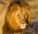 Portrait of a fully grown lion male. Photo taken in Eastern Cape nature reserve, Republic of South Africa. Stock Photo - Royalty-Free, Artist: jasonprince, Code: 400-04220058