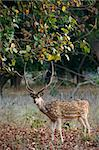 Male Axis or Spotted Deer (Axis axis) INDIA Kanha National Park Stock Photo - Royalty-Free, Artist: SURZ, Code: 400-04225560