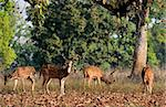 Axis Axis or Spotted Deer (Axis axis) INDIA Kanha National Park