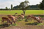 Fallow deer herd grazing Stock Photo - Royalty-Free, Artist: era300, Code: 400-04229891