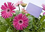A grouping of Spring daisies in various shades of pink with a bright purple blank sign / garden stake.  Isolated on a white background. Stock Photo - Royalty-Free, Artist: brookebecker, Code: 400-04232013