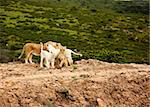 rare white lions in savanna. South Africa