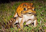 Two cane toads (Bufo marinus) mating in the grass Stock Photo - Royalty-Free, Artist: Jaykayl, Code: 400-04243195