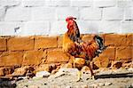Cock important strolling along the brick chicken coop Stock Photo - Royalty-Free, Artist: Nekiy, Code: 400-04243509