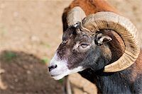Headshot of a Big Horned Ram - with lot of copy space Stock Photo - Royalty-Freenull, Code: 400-04255474