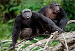 Songs. Chimpanzees sit on a tree branch in wood and songs bawl.