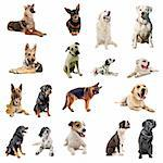 composite picture with purebred  dogs in a white background Stock Photo - Royalty-Free, Artist: cynoclub                      , Code: 400-04259310