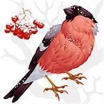 Vector bullfinch and ashberry 2 Stock Photo - Royalty-Free, Artist: denis13                       , Code: 400-04259944