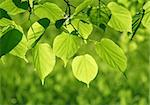 close-up of fresh green leaves glowing in sunlight Stock Photo - Royalty-Free, Artist: didesign                      , Code: 400-04264173