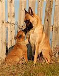 female purebred belgian shepherd malinois and her puppy Stock Photo - Royalty-Free, Artist: cynoclub                      , Code: 400-04266820