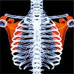human thorax under X-rays. scapula are highlighted in red. Stock Photo - Royalty-Free, Artist: dimdimich                     , Code: 400-04272888