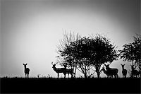 deer hunt - An image of some deer in the morning mist Stock Photo - Royalty-Freenull, Code: 400-04275264
