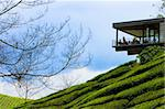 Tea plantation in cameron highland in Malaysia. Stock Photo - Royalty-Free, Artist: kiankhoon                     , Code: 400-04277743