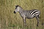 Zebra in Serengeti, Tanzania, Africa Stock Photo - Royalty-Free, Artist: isselee                       , Code: 400-04279644
