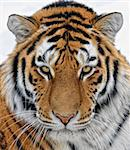 Close up portrait of a beautiful Siberian tiger Stock Photo - Royalty-Free, Artist: nialat                        , Code: 400-04284874