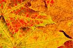 Multi colored fallen autumn leaves background Stock Photo - Royalty-Free, Artist: valeev                        , Code: 400-04288097