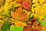 Multi colored fallen autumn leaves background Stock Photo - Royalty-Free, Artist: valeev                        , Code: 400-04288114
