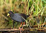 Black Crake (Limnocorax flavirostra) walking on grass in water, South Africa