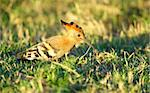 African Hoopoe (Upupa epops), the only species in family Upupidae in nature reserve in South Africa