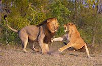 people mating - Lion (panthera leo) and lioness fighting as part of mating ritual in bushveld, South Africa   Stock Photo - Royalty-Freenull, Code: 400-04295893
