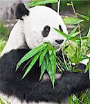Feeding time. Giant panda eating bamboo leaf Stock Photo - Royalty-Free, Artist: GoodOlga                      , Code: 400-04297733