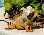 Male iguana doing a mating dance and raising its head to expose its plumage